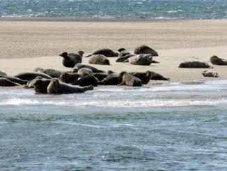 Robbenbänke auf Sylt